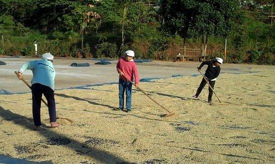 Mae Suai, Thaïlande :                   Mountain Grown Doi Chaang Coffee