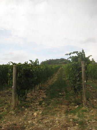 Fattoria Poggerino:                   the vineyard
