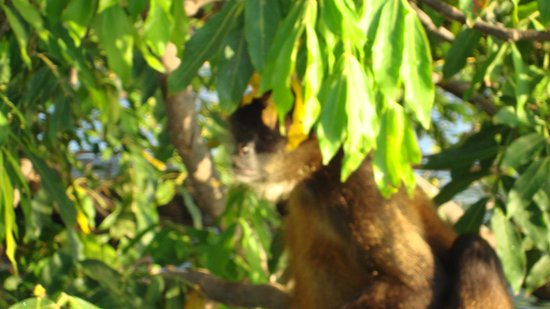 Nicaragua Adventures - Day Tours:                   howler monkey seen on boat tour of islands in Lake Nicaragua