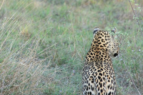 Gomo Gomo Game Lodge :                   Beautiful Leopard