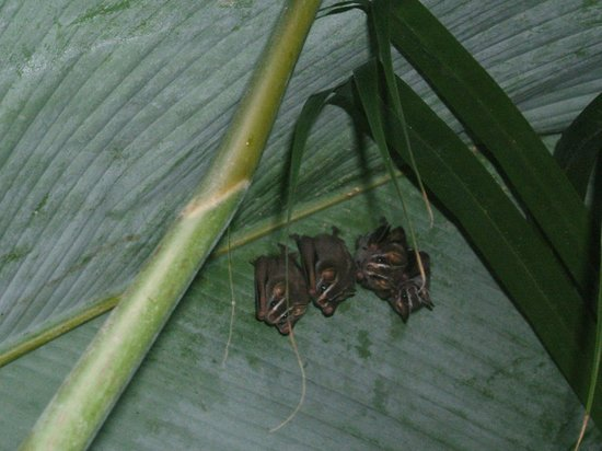 Hotel Guarana:                   Little bats just hanging out under a large leaf in the garden