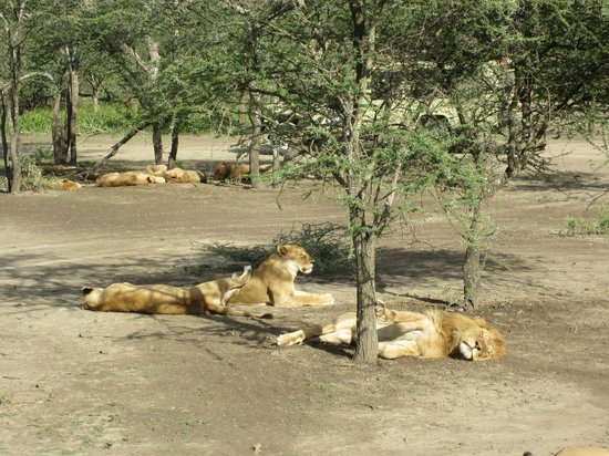 Ndutu Safari Lodge: 12 lions in the first 30 minutes