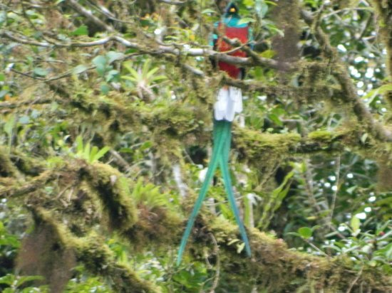 Hidden Canopy Treehouses Boutique Hotel:                   Male Quetzal