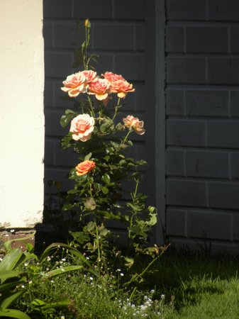 Bob's Bunk House:                   Joan's rose bush on the grounds