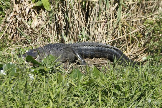 Blue Heron River Tours :                   Plenty of gators.