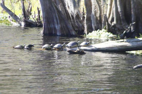 Blue Heron River Tours:                   Turtles in a row.