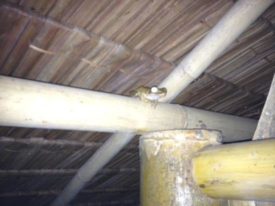 Bananas Bungalows: another bog frog!