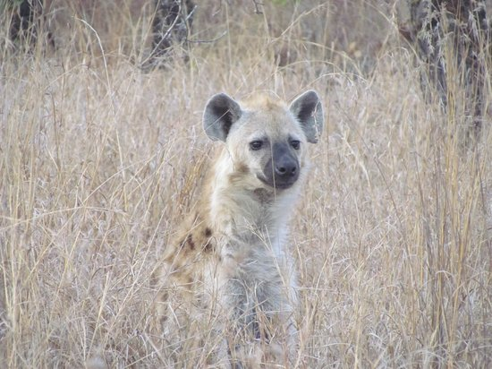 Shindzela Tented Camp: Hyena on morning game drive