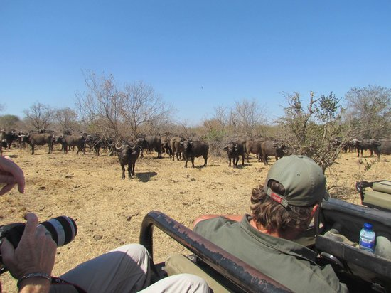 Shindzela Tented Safari Camp: Mingling with African Buffalo