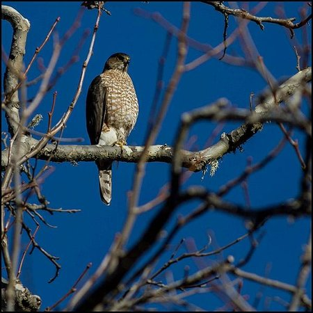 El Chorro Regional Park: Cooper's Hawk in the Trees on One of Our Walks