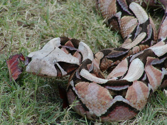 Livingstone Reptile Park: Angry Gaboon Adder