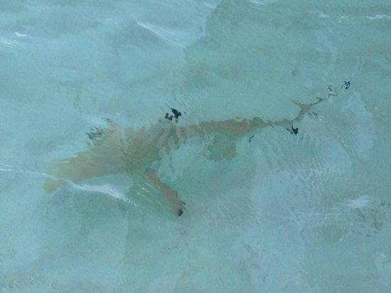 Constance Moofushi:                   Petit requin vu du ponton vers les Water Villas