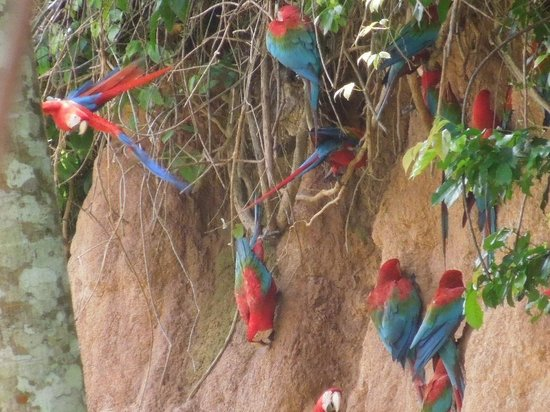 ‪بوسادا أمازونس:                   Macaws on the clay lick
