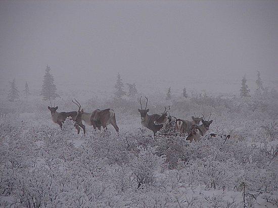 Steese Highway :                   Caribou #2