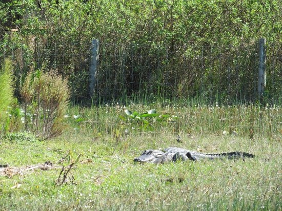Billie Swamp Safari:                   Alligator while on the Airboat Ride