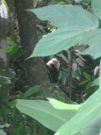 Casa Bambu Resort:                   Capuchin from our porch