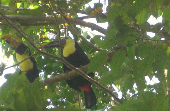 Casa Bambu Resort:                   Two toucans