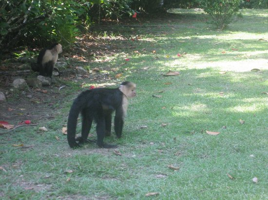 Casa Bambu Resort:                   Capuchin right before the Casa Linda kitchen raid