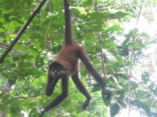 Casa Bambu Resort:                   Spider monkey (I think)