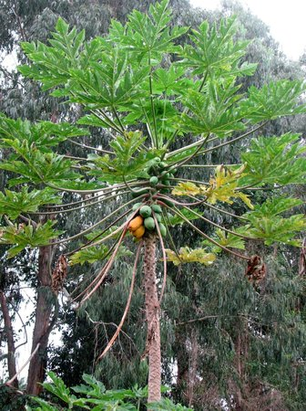 What's Shakin':                   papaya tree