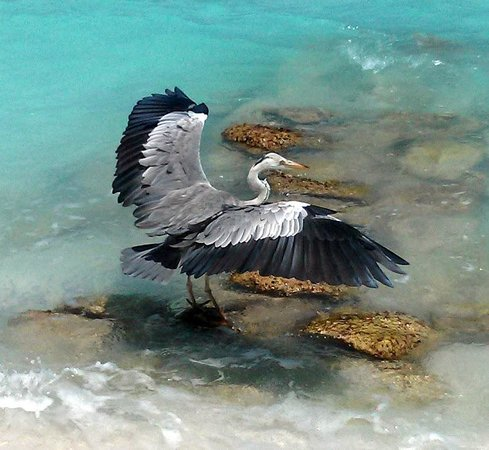 Cocoa Island by COMO :                   A grey heron catching fish in cocoa island