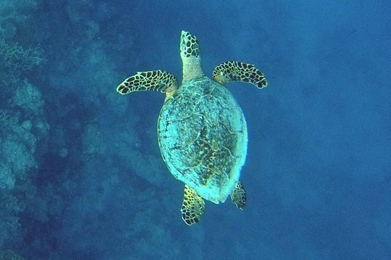 COMO Cocoa Island:                   A lonely sea turtle seen while snorkeling
