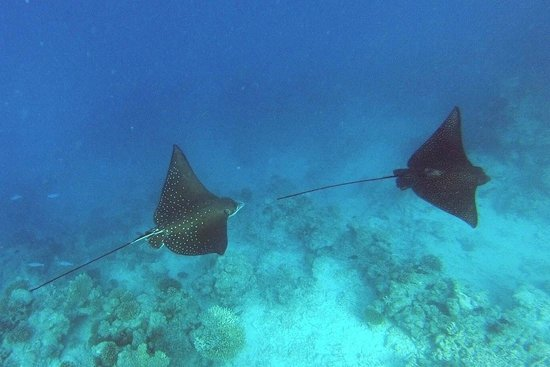 COMO Cocoa Island:                   2 spotted eagle rays seen while snorkeling in cocoa island