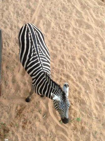Emirates Park Resort: zebra