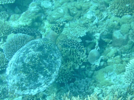 Asdu Sun Island: tortuga