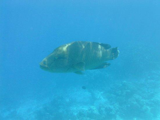 Asdu Sun Island: pesce napoleone