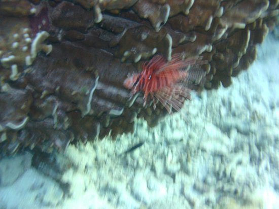 Asdu Sun Island: pesce leone