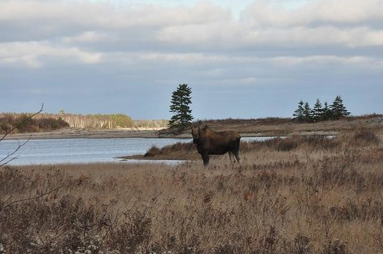 Cabot Shores Wilderness Resort: A Big moose by Church Pond!