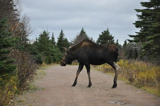 Cabot Shores Wilderness Resort: Why did the moose cross the road? To eat the blueberry patch on the other side.