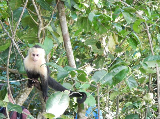 Hotel San Bada: A capuchin at the nearby Manuel Antonio National Park