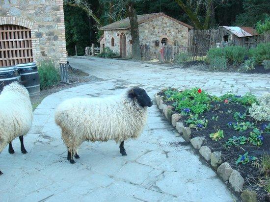 Castello di Amorosa:                   Animals around the castle                 