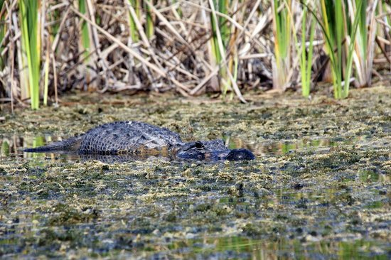 Everglades Area Tours: A lazy gator next to us