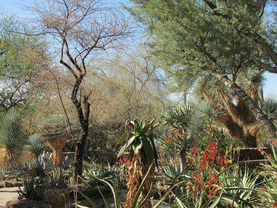 Flowering Cactus Picture Of Desert Botanical Garden Phoenix Tripadvisor
