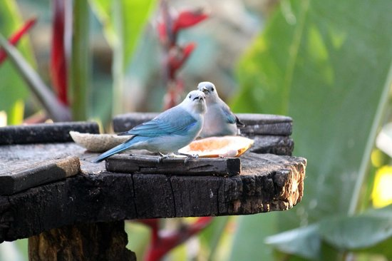 Xandari Resort & Spa:                   Stunning birds every breakfast.