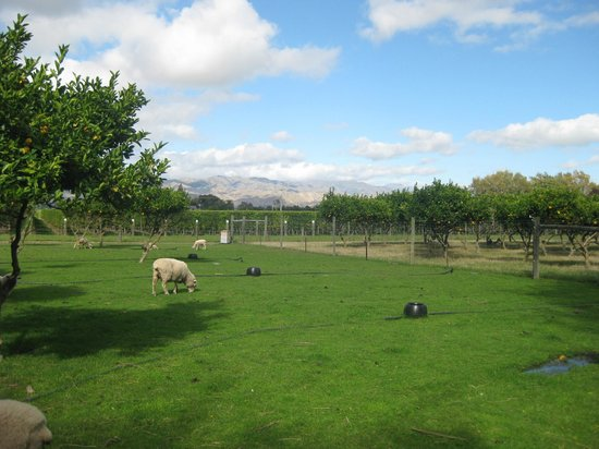 St Leonards Vineyard Cottages:                   Picture of some of the farm animals and vineyards around the property.
