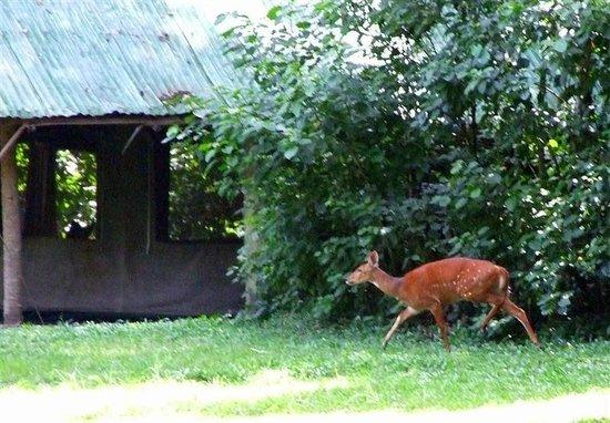 Rubondo Island, Tanzania:                                     Sitatunga antelope