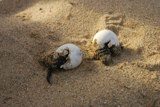Tortugueros Las Playitas:                   A couple of turtles took a while to get out of their shells
