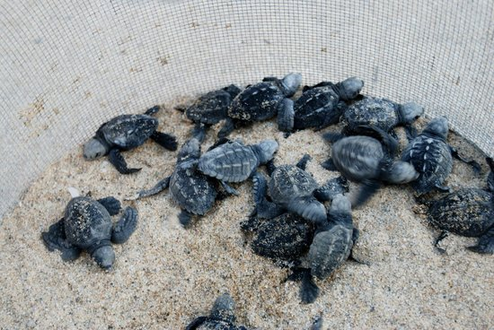 Tortugueros Las Playitas:                   23 sea turtles were hatched the night we were there
