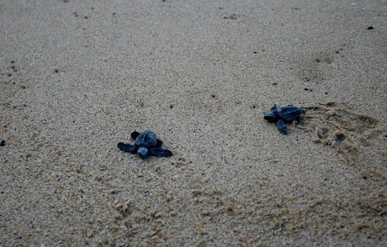 Tortugueros Las Playitas:                   Turtles on the beach!