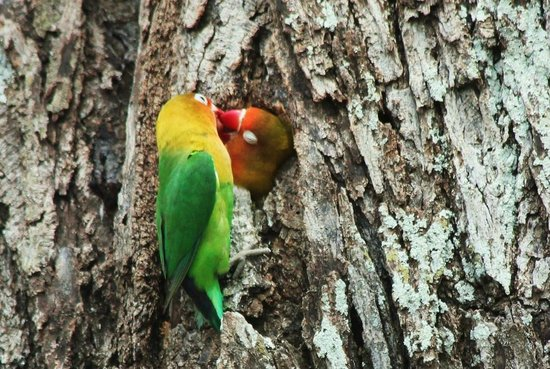 Ndutu Safari Lodge: Resident lovebirds