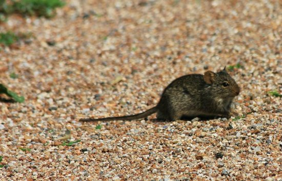 Ndutu Safari Lodge: Resident ground mouse