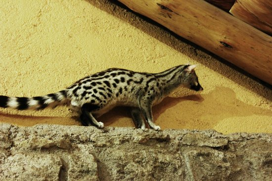 Ndutu Safari Lodge: A genet frequently seen in the dining room (related to a mongoose)