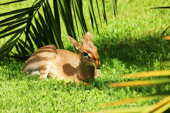 Arumeru River Lodge: One of Arumeru's resident dik diks
