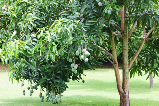 Arumeru River Lodge: A mango tree on the grounds