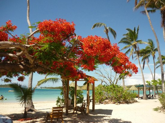 Plantation Island Resort: The Flame Trees are spectacular
