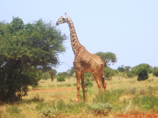 Rama's Hut - Homestay with african family:                                     GIRAFFA